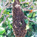 african bee removal