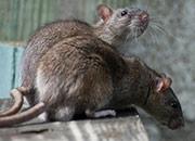 rat contol boca raton