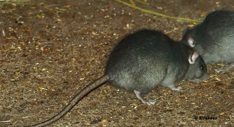 rat control boca raton