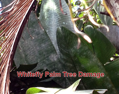 whitefly palm tree damage